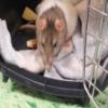 Le neoplasie nel ratto